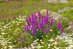 Rantakukka ja päivänkakkarat - rantakukka Lythrum salicaria meri niitty kasvi kesä pohjanlahti selkämeri merenkurkku  fälgrund saari kivi r...