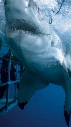 Great white shark - Carcharodon carcharias (Linnaeus, 1758) - Superorder Selachimorpha - Order Lamniformes - Family Lamnidae - Genus Carcharodon
