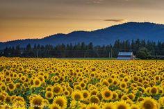 James Richman Photography     ~ Sunflowers ~ in Deer Park, north of Spokane, WA, earlier in August