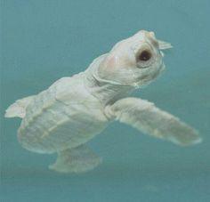 Baby albino turtle