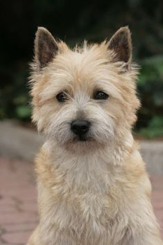 Cairn terrier - think Briney his this mixed in with the JRT