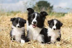 chiots border collie, border collie, eleveur border collie Plus I Love Dogs, Cute Dogs And Puppies, Pet Dogs, Dog Cat, Doggies, Beautiful Dogs, Animals Beautiful, Cute Animals, Cute Dogs Breeds