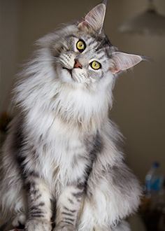 Maine Coon cats are one of the largest of all cat breeds and originated in North America.Except for when they get stunted from an inadequate beginning like Baby Kitty did. But she still has the ATTITUDE of a Maine Coon! Pretty Cats, Beautiful Cats, Animals Beautiful, Cute Animals, Pretty Kitty, Lovely Eyes, Best Cat Breeds, Animal Gato, Animal Fur