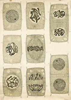 Anatomy of Plant Cells by Frederic Elfving 1929. depicts the different stages of cell reproduction.