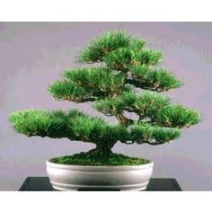 100-200 Japanese Black Pine seeds