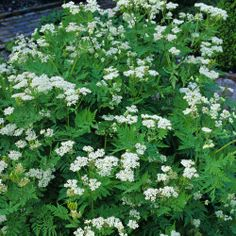 Sweet Cicely: For cooking with fruit, so you need less sugar. Grows in some shade.