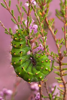 magicalnaturetour:    Emporer moth caterpillar feeding on Heather by Guy Rogers :)