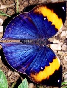 Orange Oakleaf or Dead Leaf Butterfly via Bird's Eye View at www.Facebook.com/aBirdsEyeViewForYou