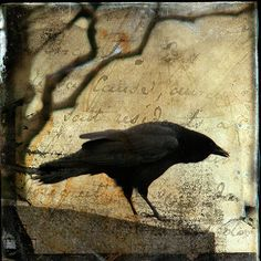 Curious Crow Photograph  - Curious Crow Fine Art Print - Gothic And Crows Art Photography