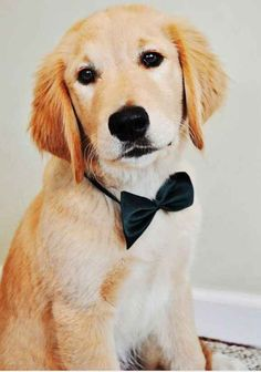 Here I am, the most dapper ring bearer known to dog. | 61 Times Golden Retrievers Were So Adorable You Wanted To Cry
