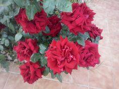 Estas rosas duran muchos dias  en el rosal, sin perder los petalos