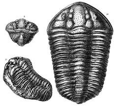 Calymene blumenbachii Brongiart and C. tuberculosa Salter (128Kbytes) From plate 17 and 18. Figure 11 is the C. tuberculosa specimen.  Murchison_Calymene.jpg (617×569)