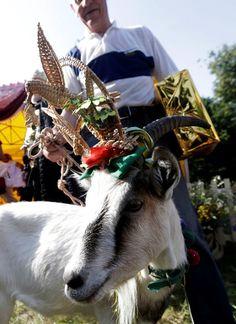 Demyte, 16 mois, est sortie gagnante d'un concours de beauté réservé aux chèvres.