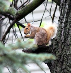 Odd colored gray squirrel. Squirrel, Fox, Gray, Flowers, Animals, Color, Beautiful, Ash, Animales