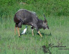 Photo of the day : TOUCH this image: Nyala Bull @ the Xombana dam, DinokengGameReserve by Xombana