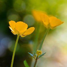 Yellow Field Flowers