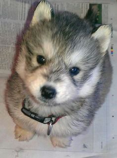 Pomsky Puppies Check out all kinds of cool dog stuff