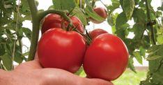 Organická hnojiva na rajčata řeší problémy s jejich nepříjemnými chorobami – domácí tipy a triky Garden Pests, Vegetables, Mai, Gardening, Cottages, Plants, Cabins, Country Homes, Lawn And Garden