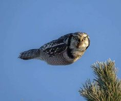 An owl flying with its wings tucked in so it looks like a missile. The northern hawk owl was photographed by Jani Yikangas in Kokkola, Finland. Funny Animal Facts, Funny Animal Videos, Funny Animals, Cute Animals, Owl Photos, Owl Pictures, Funny Animal Pictures, Animals Photos, Random Pictures