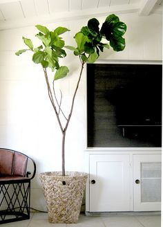 The Scoop on Fiddle-leaf Figs from Martha Herself:  - easy to care for   - loves a bright, sunny location  - water thoroughly only when surface is dry to the touch, likes periods of drought  - groom by removing yellowed foliage  - mist occasionally  - every 2 years or so repot to avoid becoming rootbound  - occasionally dust leaves with a soft cloth