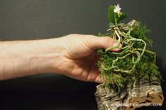 Gently place your orchid on top of the moss, then your plant is ready for the covering layer of moss to be placed over it.