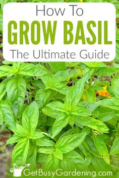 How To Grow Basil: The Ultimate Guide Growing basil is easy. The plants perform equally well in outd Growing Herbs At Home, Growing Plants, Garden Soil, Garden Care, Caring For Basil Plant, Types Of Basil, All About Plants, Outdoor Pots, Herbs Indoors