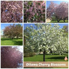 The Cherry Blossoms are only around for a short time in spring, so you have to get out and enjoy them before all the flowers fall! Don't overwork yourself, get out and smell the flowers! Cherry Blossoms, Getting Out, How To Get, Fall, Spring, Board, Flowers, Plants, Autumn