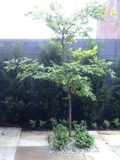 In today's blog we will look at garden design for privacy using screening plants. We will show you some options for improving privacy with fast growing screening plants or mature sized moderately growing plants. Thuja Occidentalis or White Cedar a slow to moderate growing evergreen...