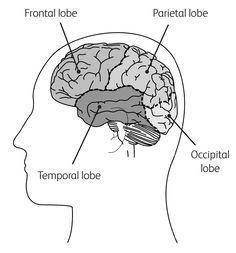 Cross-section diagram of the brain, showing the temporal lobe, parietal lobe, frontal lobe and occipital lobe