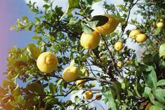"""The Eureka lemon tree (Citrus limon """"Eureka"""") produces very few thorns, but it is more susceptible to freezing weather than other lemon varieties. Eureka lemon trees are suitable for growing . Citrus Trees, Fruit Trees, Fruit Plants, Fruit Garden, Vegetable Garden, Garden Plants, Limoncello, Eureka Lemon Tree, Lemon Tree From Seed"""