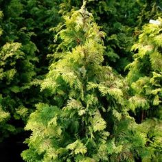 Golden Hinoki Cypress Chamaecyparis obtusa 'Crippsii', 10-15' h x 5-10' w. Garden notes: Kate Farley emphasizes that garden structure should be composed of a balance of deciduous trees and shrubs, broadleaf evergreens, and conifers. Favorite conifers are Hinoki cypress (Chamaecyparis obtusa) and yews (Taxus spp.)