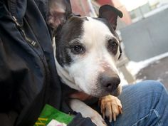 TO BE DESTROYED - 02/09/15 Manhattan Center -P  My name is LADY. My Animal ID # is A1026494. I am a female black and white pit bull mix. The shelter thinks I am about 5 YEARS old.  I came in the shelter as a SEIZED on 01/28/2015 from NY 10463, owner surrender reason stated was OWN EVICT. I came in with Group/Litter #K15-002347.