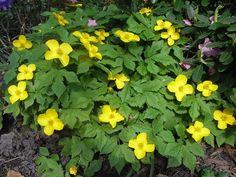 HYLOMECON japonica - Guldkop, farve: gul, lysforhold: halvskygge, højde: 20 cm, blomstring: maj, god til bunddække.