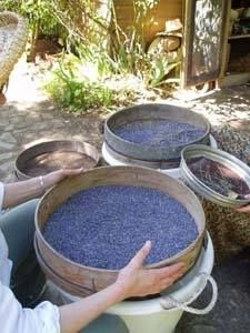 Lavandula - Swiss Italian Farm - Processing our lavender: An acre of lavender plants) makes a litre of oil. Lavender Cottage, Lavender Garden, Lavender Buds, French Lavender, Lavender Sachets, Lavender Scent, Lavender Fields, Lavender Flowers, Lavenders Blue Dilly Dilly