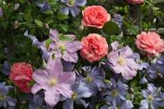 Combining Roses and Clematis,  Clematis 'Juuli', Clematis Perle d'Azur, Rose 'Compassion'
