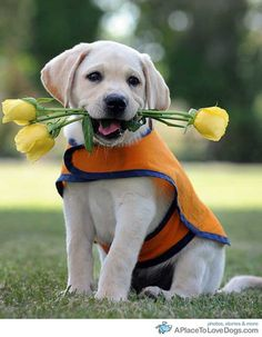A Labrador puppy holds roses in its mouth at the Guide Dogs Breeding and Training Centre in Brisbane. To commemorate Guide Dogs Queensland's 50th Anniversary, a new rose, the Brindabella Gold, has been developed and will be unveiled at the Brisbane Gardening Australia Expo, with sale proceeds to help turn more puppies into guide dogs    Original Article