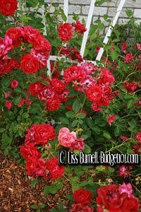 MYO Rose Bush Fertilizer