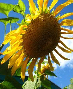 Huge sunflower!