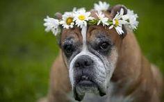 Kết quả hình ảnh cho boxer dog
