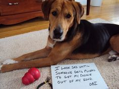 "Dog Confessions -  ""I look sad until someone gets pliers to get my cookie out of my Kong."" ~ Obi"
