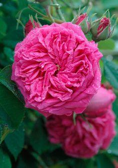 Centifolia Rose: Rosa 'Paul Ricault' (France, 1845)