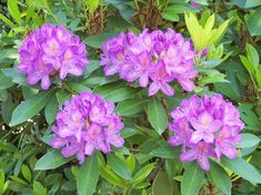 Resultado de imagem para rododendro