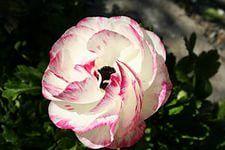 Обои Камелия Крупным планом Цветы Фото 357010