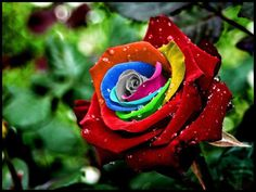 The-Rainbow-roses were shaped by Dutch flower company owner Peter Van De Werken who formed them by developing a method for injecting natural pigments into their stems while they are growing to make a striking multicolored petal effects. The dye are produced from natural plant extracts and absorbed by the flowers as they grow. A particular procedure then controls how much color reaches each petal- with stunning results.
