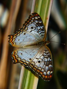 butterfly, White Peacock (Anartia jatrophae) by Rui Pará, via Flickr