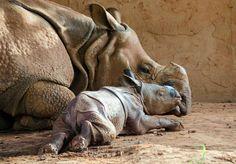 Rhino Mum and Baby - Natur/Tiere - Adorable Animals Nature Animals, Animals And Pets, Beautiful Creatures, Animals Beautiful, Cute Baby Animals, Funny Animals, Baby Rhino, Mundo Animal, Tier Fotos