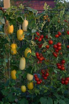 Vertical Gardening, and extra support for the tomatoes