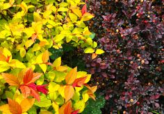 spiraea and barberry, what a fantastic combination! Love the way the spirea pops against the dark burgundy barberry.