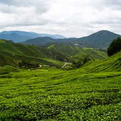 The Cameron Highlands of Malaysia: The rolling hills of tea fields, and strawberry farms
