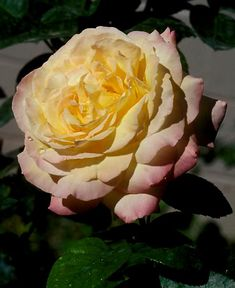 'Peace' Hybrid Tea Rose ~~~~ It won the AARS rose bush award in 1946 commemorating the end of World War II.